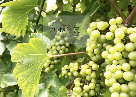 〜自畑のぶどうで造る唯一のワイン〜(大船渡産シャルドネ)白・辛口・750ml・Chardonnay 2019