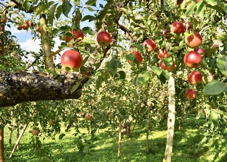 (4本セット)〜大人の贅沢りんごジュース〜りんご屋まち子のアップルジュース【720ml】