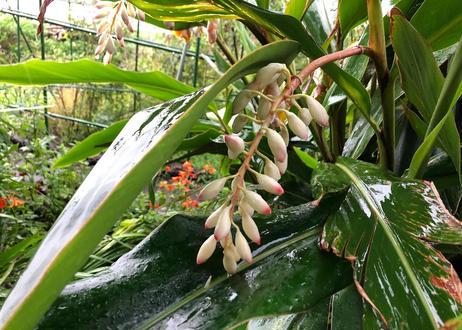 月桃の種(11粒)
