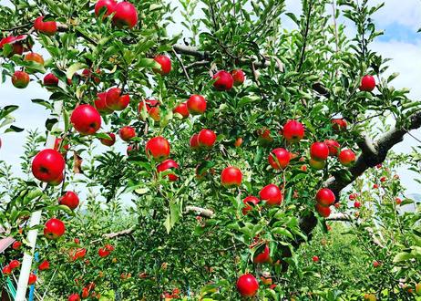 りんごジュース【 3本セット】