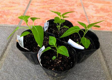 ペペロンチーノ(イタリア唐辛子の種)カラブリア産