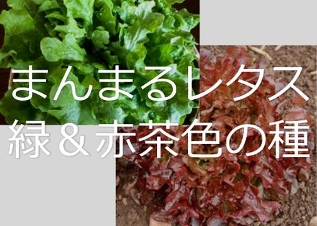 球形に育つレタスの種グリーン&オークの種を10粒ずつ 送料無料