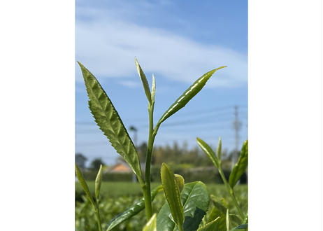 【b-4】駄農園ブレンド紅茶 ティーバッグ2021