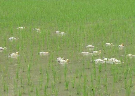 愛農米 合鴨米コシヒカリ白米3㎏
