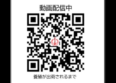 【三重県産ヒラメ】朝活〆後即配したお得2パックセット『PRIDEFISH』《NGO01004》