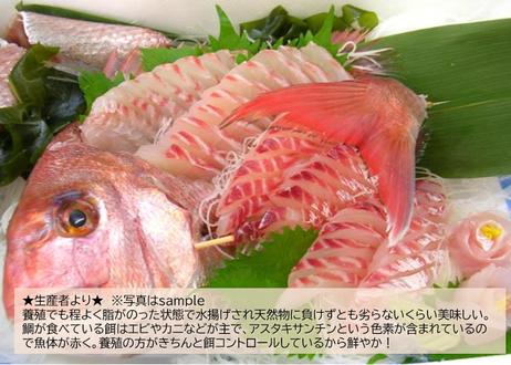 【堂々の真鯛】YouTubeで紹介中!漁師が捌いて真空パックで届くので調理も簡単♪鮮度も抜群!
