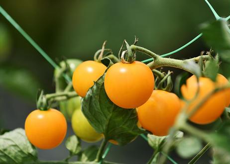 【一部エリア送料無料】北海道余市産・果汁100%プレミアムジュース4本セット(トマト赤&黄・グレープ・アップル)