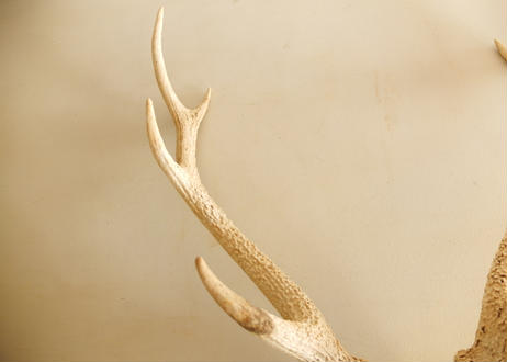 Hunting trophies (Corner skull of deer)