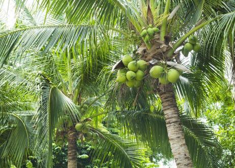 チェリーザ  オーガニックココナッツパウダー