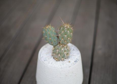ミクエリオプンチア・ミクエリー Miqueliopuntia miquelii