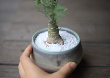 ぺラルゴ二ウム カルノーサム Pelargonium carnosum