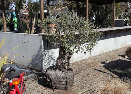 スペイン古木オリーブ