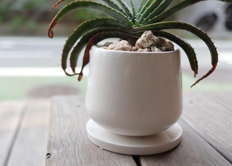 アロエ スプラフォリアータ Aloe suprafoliata