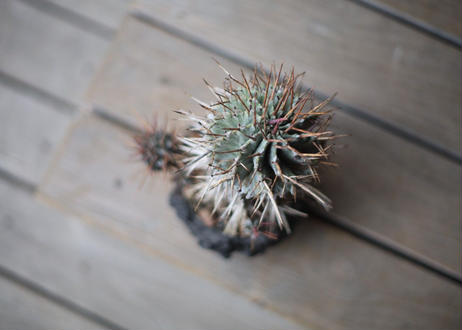 ユーフォルビア 強棘ホリダ  Euphorbia horrida