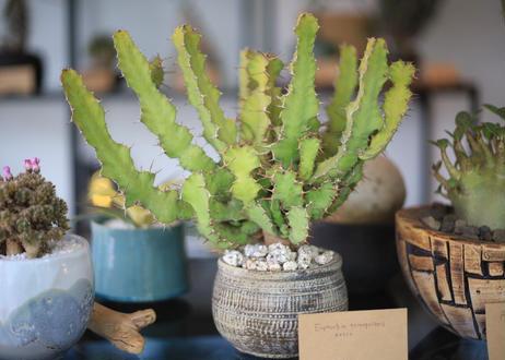 オオマトイ  Euphorbia  triangularis
