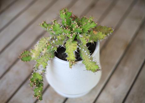 ユーフォルビア ウムフォロジエンシス Euphorbia umfoloziensis