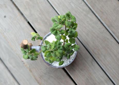 森のコーヒーカップ with プレクトランサスエルンスティ