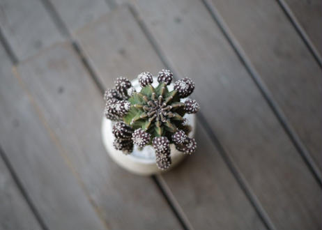サボテンフォルモーサ Echinopsis subdenudata