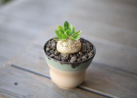 恵比寿笑い Pachypodium brevicaule