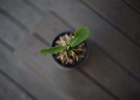 噴火竜 Euphorbia viguieri
