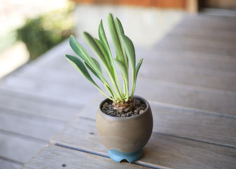 鉄甲丸 Euphorbia bupleurifolia