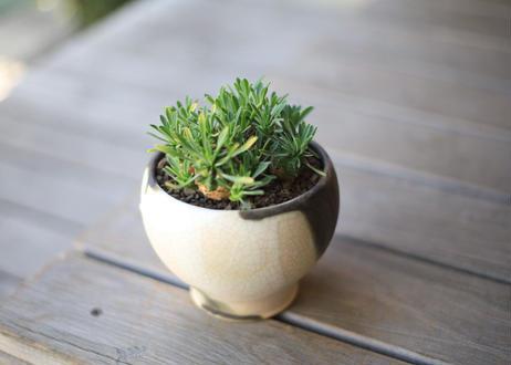 峨眉山  Euphorbia Gabizan