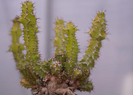 ユーフォルビア ノベリー Euphorbia knobelii