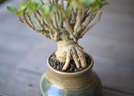 アデニウム アラビカム モンスト Adenium arbicum
