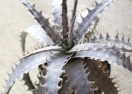 ディッキア dyckia goehringii new × Bone