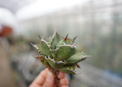 Agave Black fire F NO.4 (G)