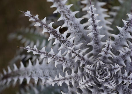 Dyckia Arizona x Mercury