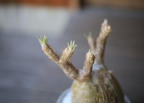 グラキリス  Pachypodium Gracilius