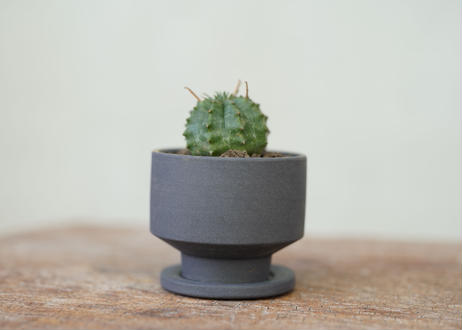 Euphorbia valida