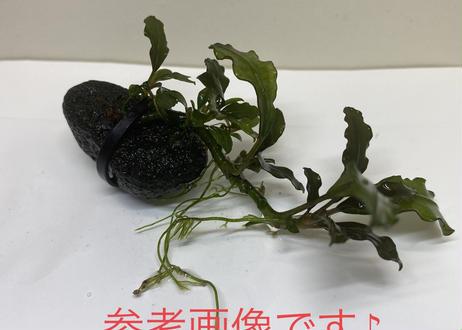 Bucephalandra sp Sekadau Black 溶岩石付き2株セット 送料無料