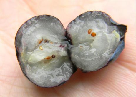 青森県産 ブルーベリー 1kg