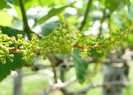 青森県産 ブドウ【品種:ナイヤガラ】 1.5kg箱