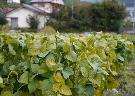 あけぼの大豆オーナー1口(8株) 完熟した有機・無農薬栽培の安全で安心な栽培方法