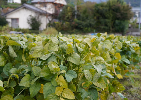 あけぼの大豆オーナー10口(80株)(20%OFF)完熟した有機・無農薬栽培の安全で安心な栽培方法