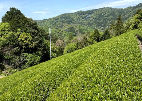 2021煎茶(ピンクムーン)