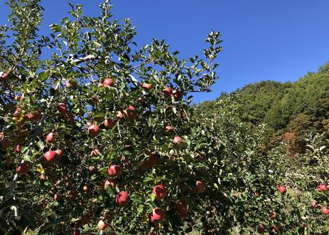 【訳ありでもおいしい】信州りんご サンふじ+シナノゴールド12㎏ 35~40玉入【送料無料】