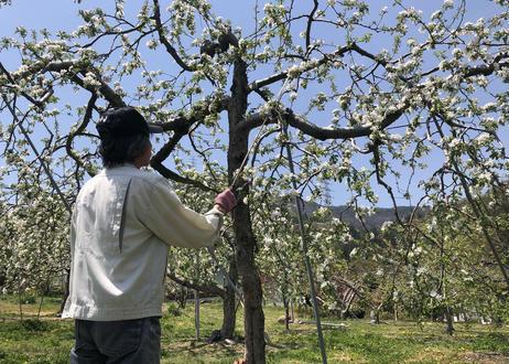 シャキシャキの信州りんご シナノゴールド3㎏ 9玉入【送料無料】