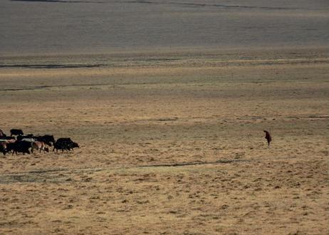 写真パネル<牛の群れと老人>直筆サイン付き 限定50枚
