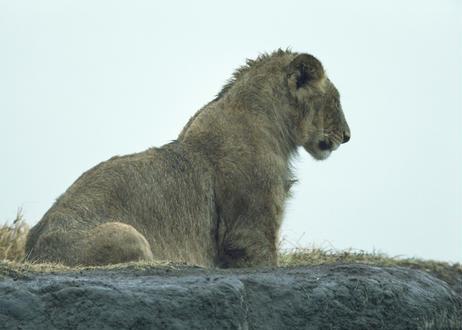 写真パネル<雨に濡れたライオン>直筆サイン付き 限定50枚