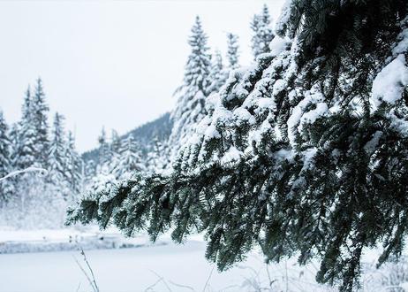【予約販売】オレゴン産モミの木Oregon Abies Firma 6-7feet / 180-210cm