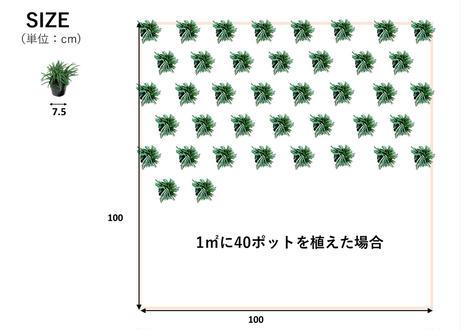 タマリュウ40個【ポット】  石井の玉竜          (一部地域 送料無料)