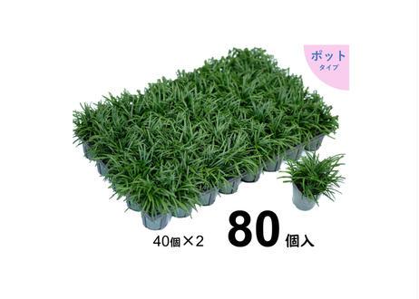 タマリュウ80個【ポット】  石井の玉竜          (一部地域 送料無料)