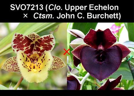 (Clo. Upper Echelon × Ctsm. John C. Burchett) ツボミ付 実生未開花株