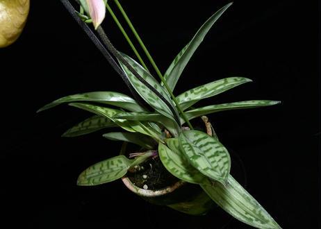 Paph. amabile 花2本立ち株