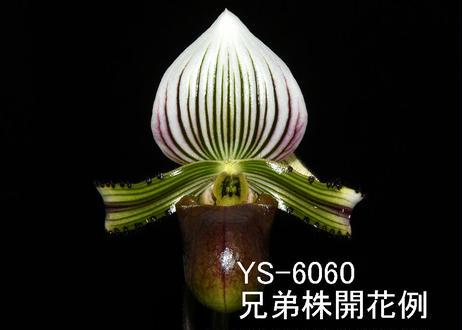 Paph. hennisianum x sibling ツボミ付株