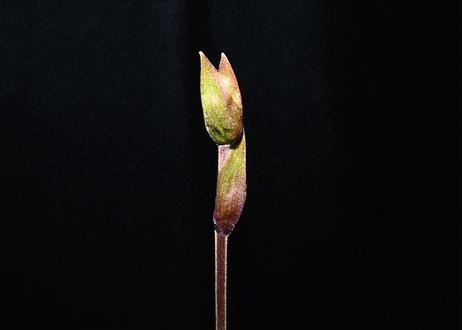 Phrag. Fritz Schomburg 'Pink Emotion' ツボミ付株
